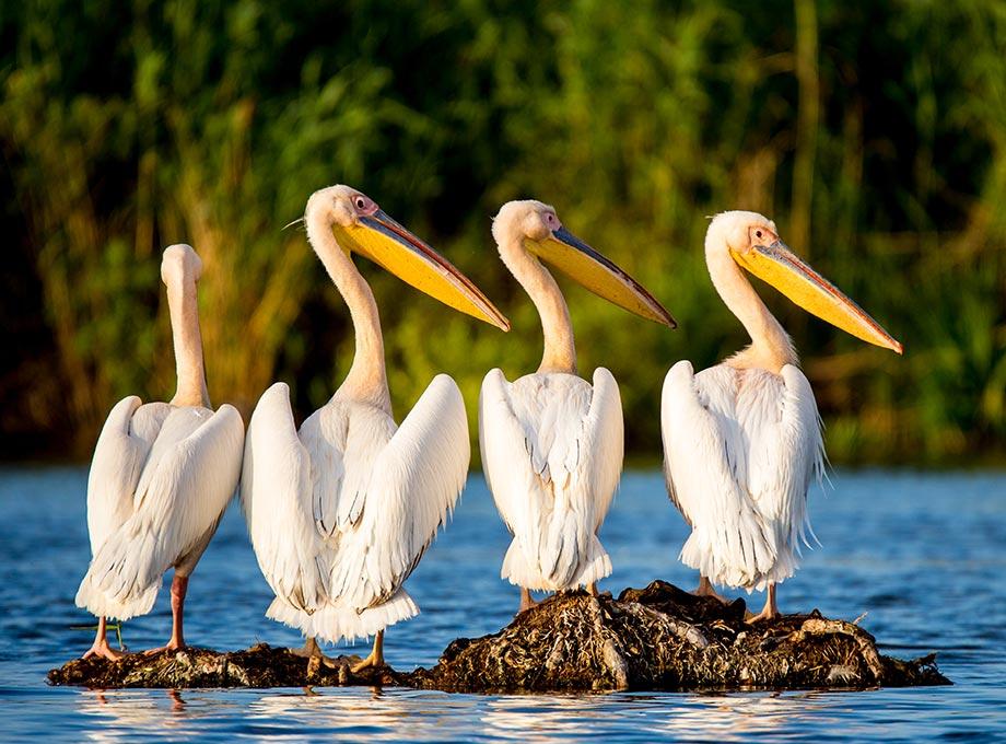 Pelicani in Delta